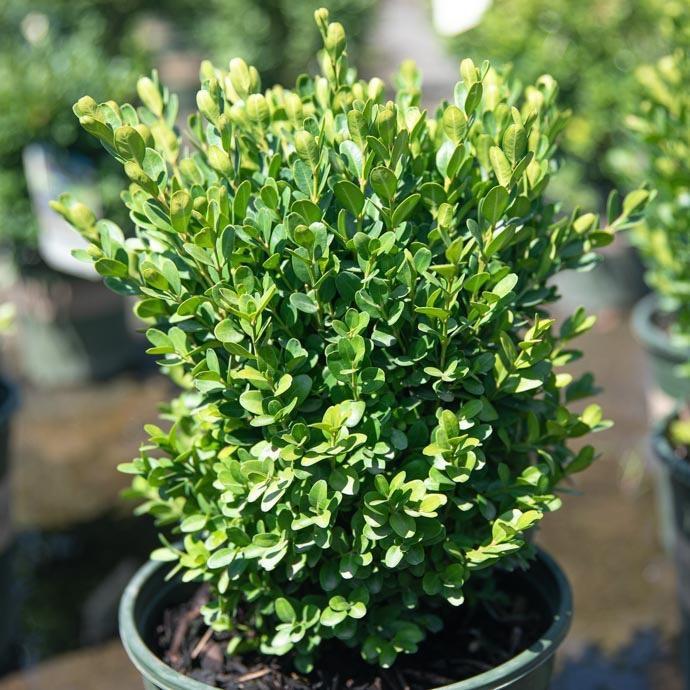 #1 Buxus sempervirens Petite Pillar/Dwarf Boxwood