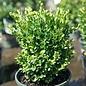 #2 Buxus sempervirens Petite Pillar/Dwarf Boxwood