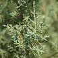 #30 Cupressus arizonica var. glabra Carolina Sapphire/Blue Arizona Cypress