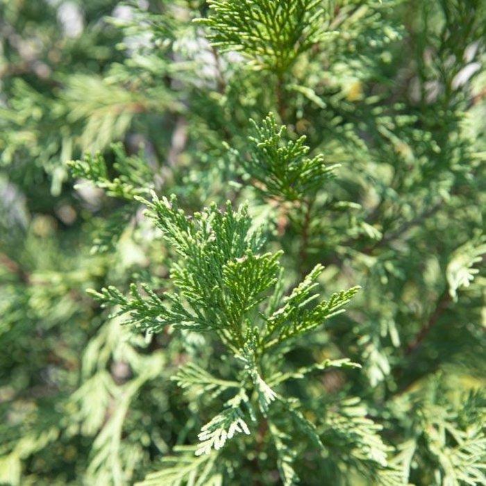 #15 Cupressocyparis x leylandii Emerald Isle/Leyland  Cypress