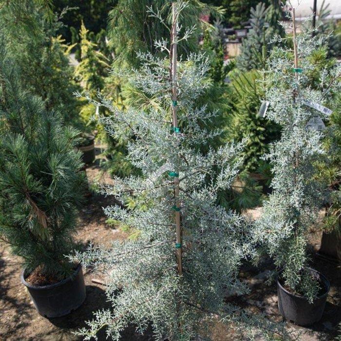 #3 Cupressus arizonica var. glabra Blue Pyramid/Blue Arizona Cypress