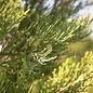 #15 Juniperus chin Hetzii Columnaris/Green Columnar Juniper