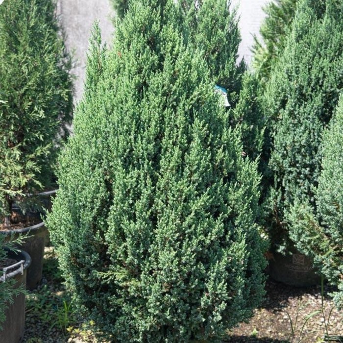 #5 Juniperus sillicicola Blue Spires/Juniper Upright
