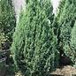 #5 Juniperus sillicicola Blue Spires/Juniper Upright