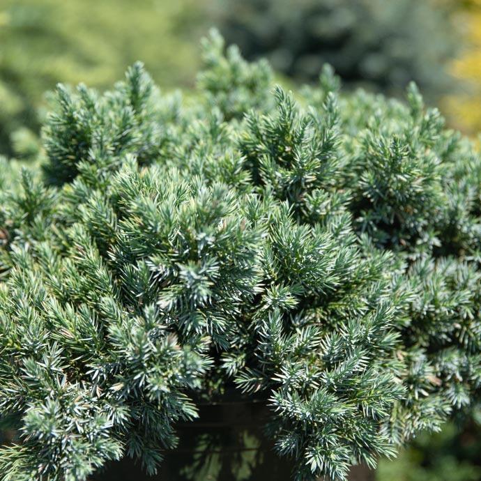 #1 Juniperus squa Blue Star/Juniper Mounding