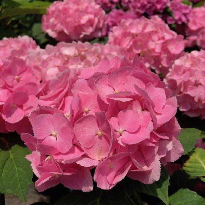 #2s Hydrangea mac Rhythmic Blue (Let's Dance)/Bigleaf/Mophead Rebloom Blue to Pink