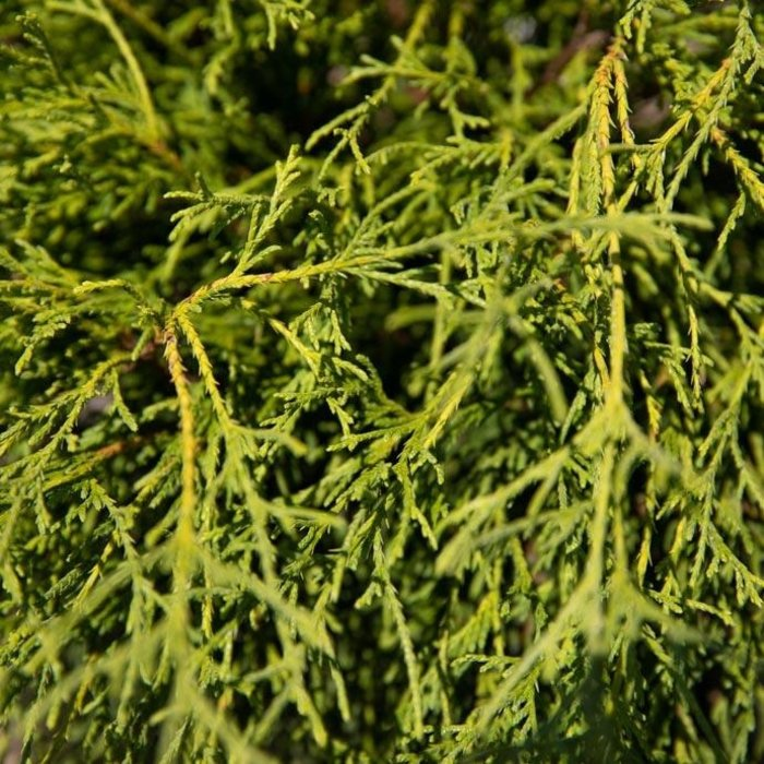 #3 Chamaecyparis pis Angel Hair/Threadleaf Falsecypress
