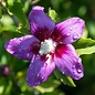 #2s Hibiscus syr Lil' Kim Violet/Rose of Sharon/Althea