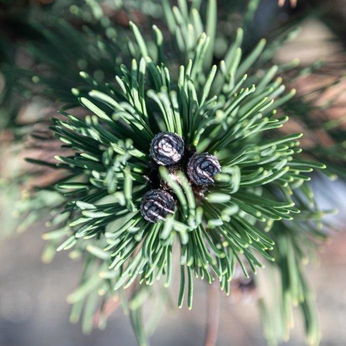#6 Pinus leucodermis (heldreichii) Indigo Eyes/Bosnian Pine