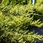 #3 Juniperus chin Pfitzeriana Nicks Compacta/Chinese Juniper Spreading