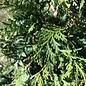 #2 Thuja occ Little Giant/Arborvitae Globe