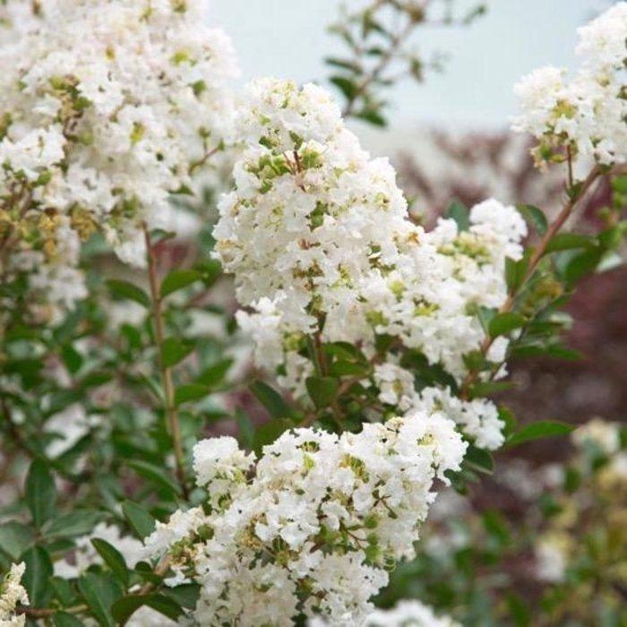 #3 Lagerstroemia Enduring Summer White/Crape Myrtle Dwarf White