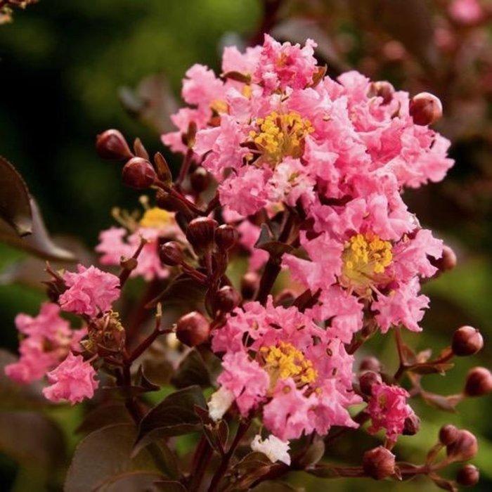 #3 Lagerstroemia Delta Jazz/Crape Myrtle Semi-dwarf Bright-pink