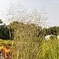 #1 Grass Panicum virg Prairie Sky/Switch