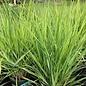 #2 Grass Panicum virg Northwind/Switch