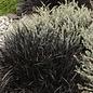 #1 Grass Ophiopogon plan Nigrescens/Black Mondo