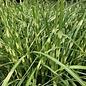 #1 Grass Miscanthus sine Little Zebra/Dwarf Japanese Silver