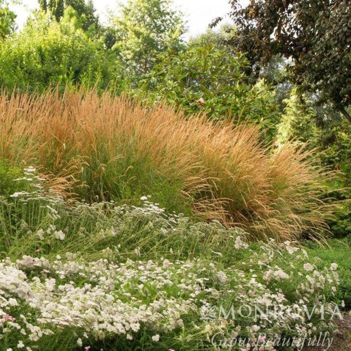 #1 Grass Calamagrostis brachytricha/Korean Feather Reed
