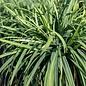 #1 Grass Carex laxiculmis Hobb/Blue Bunny Sedge