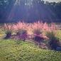 #1 Grass Muhlenbergia capillaris/Pink Muhly