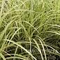 #3 Grass Miscanthus sine Cosmopolitan/Silver Variegated Maiden