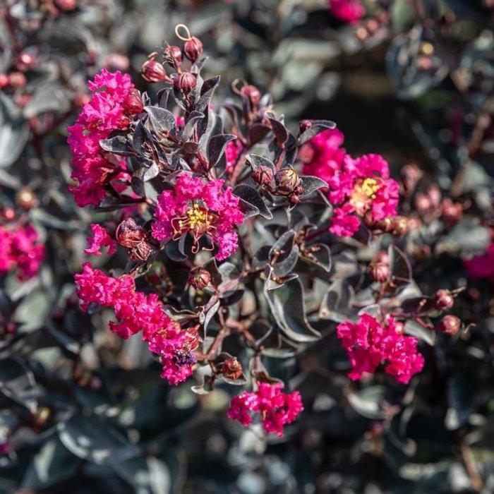 #3 Lagerstroemia Black Diamond Mystic Magenta/Crape Myrtle Semi-dwarf Magenta-pink