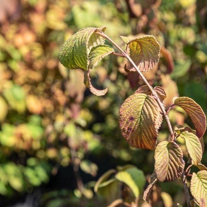 #7 Viburnum plicatum tomentosum 'Shasta'/Doublefile