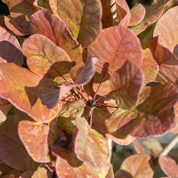 #5 Cotinus c. Old Fashioned/Smokebush Tree