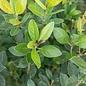 #3 Ilex vert Jim Dandy/Winterberry Holly Deciduous Male