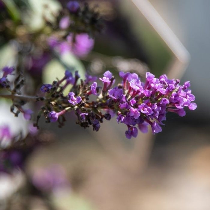 #1 Buddleia Assortment/Butterfly Bush