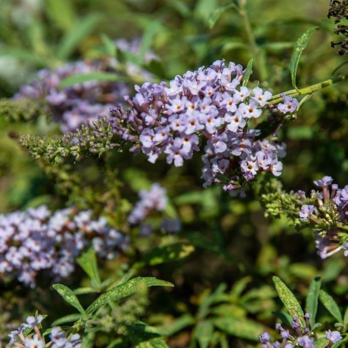 #3 Buddleia Buzz Sky Blue/Butterfly Bush