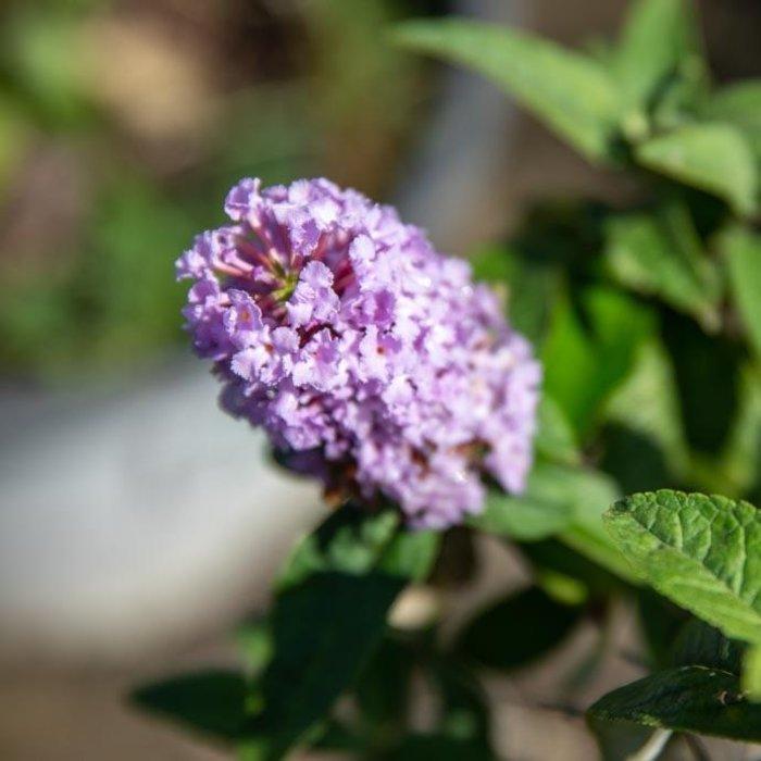 #3 Buddleia Pugster Amethyst/Butterfly Bush