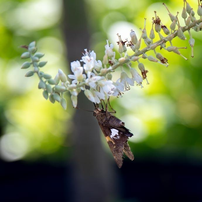 #2s Clethra alnifolia Crystalina Sugartina/Summersweet White