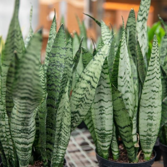 6p! Sansevieria /Mother-In-Law Tongue /Snake Plant /Tropical