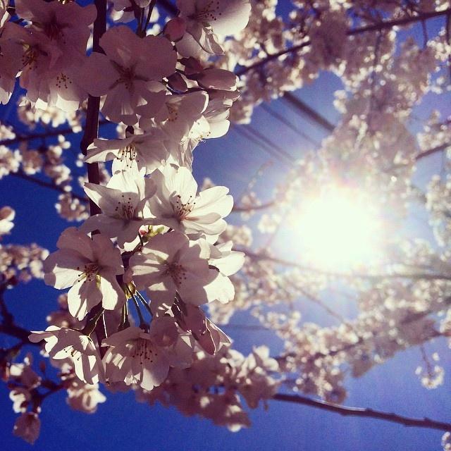 Flowering Cherry (Prunus)