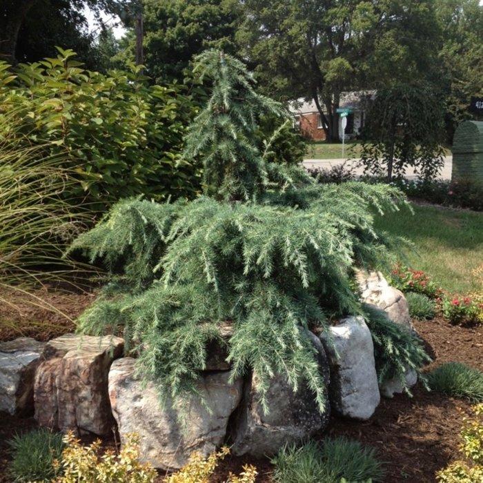 Cedar (Cedrus)