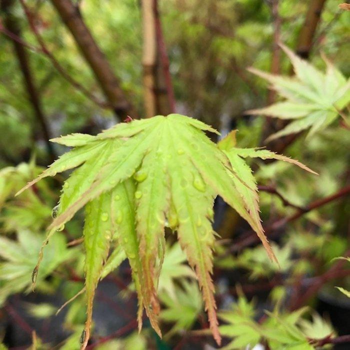 Broadleaf Japanese Maple (Acer palmatum)