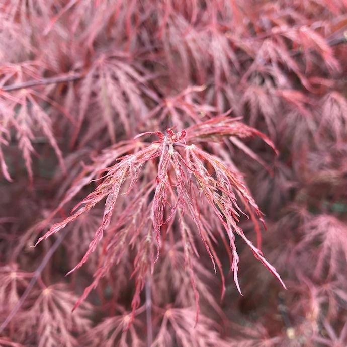 Laceleaf Japanese Maple (Acer pal. var. dissectum)