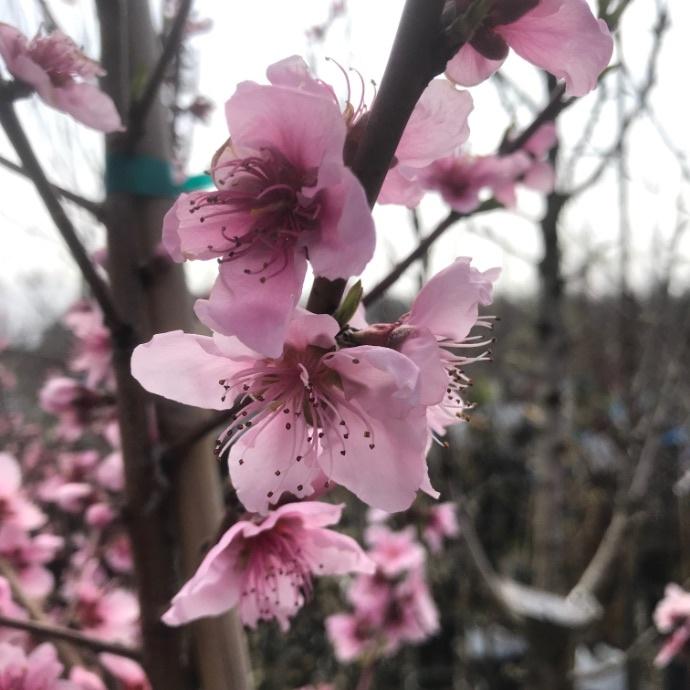 Peach (Prunus)
