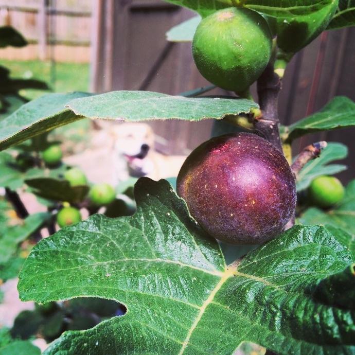 Fig (Ficus)
