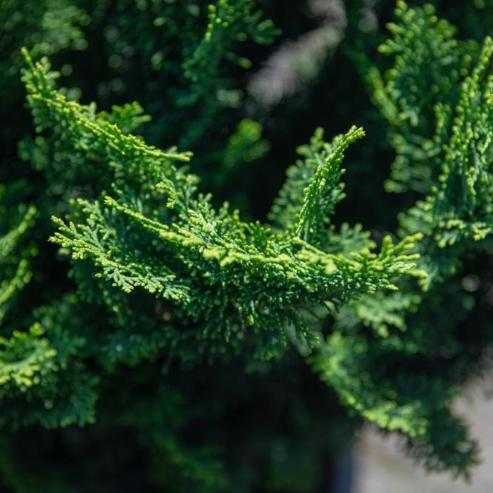 False Cypress (Chamaecyparis pisifera)