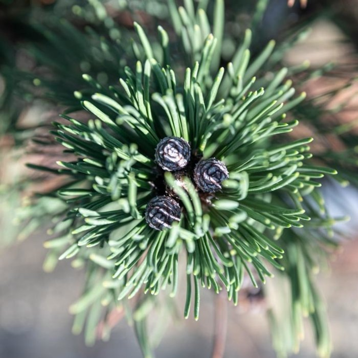 Pine (Pinus)