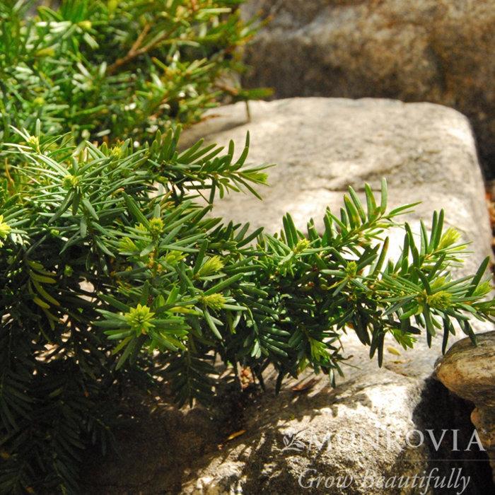 Yew (Taxus)