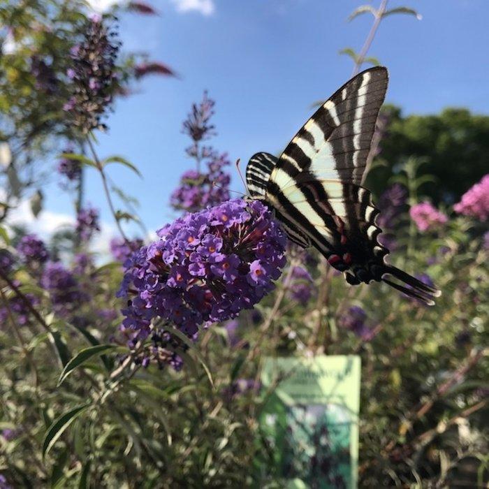 Butterfly Bush (Buddleia)