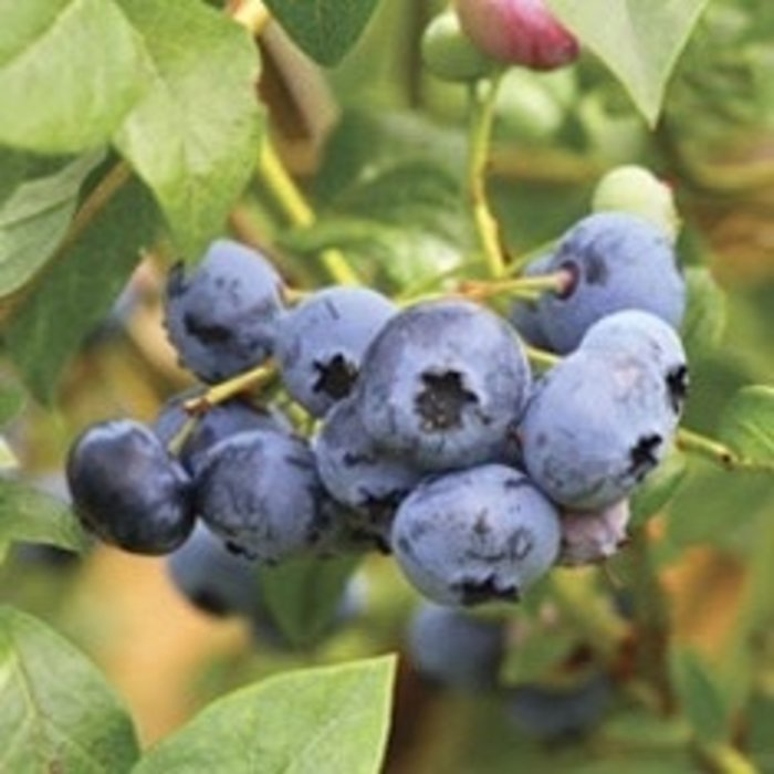 Edible Berry Bushes