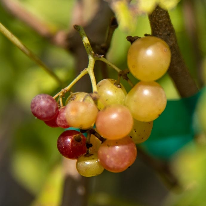 Grape & Muscadine (Vitis)