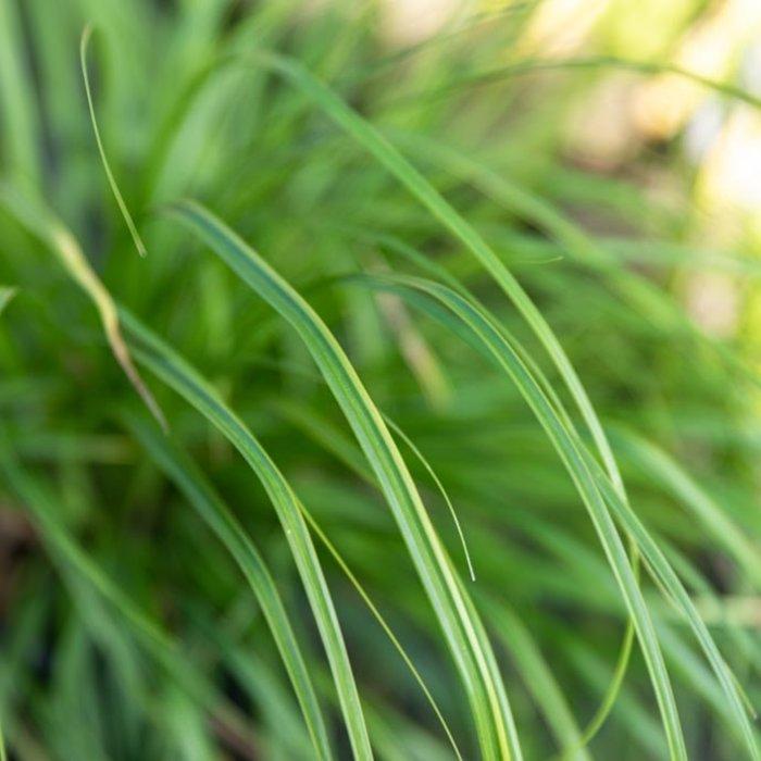 Carex (Sedge)