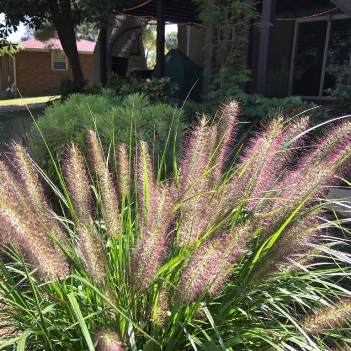 Pennisetum (Fountain Grass)