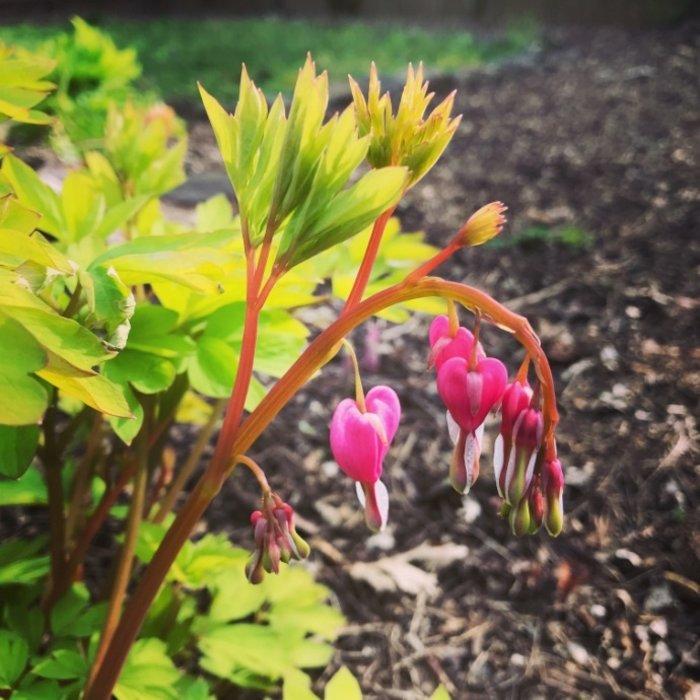 Miscellaneous Shade Perennials