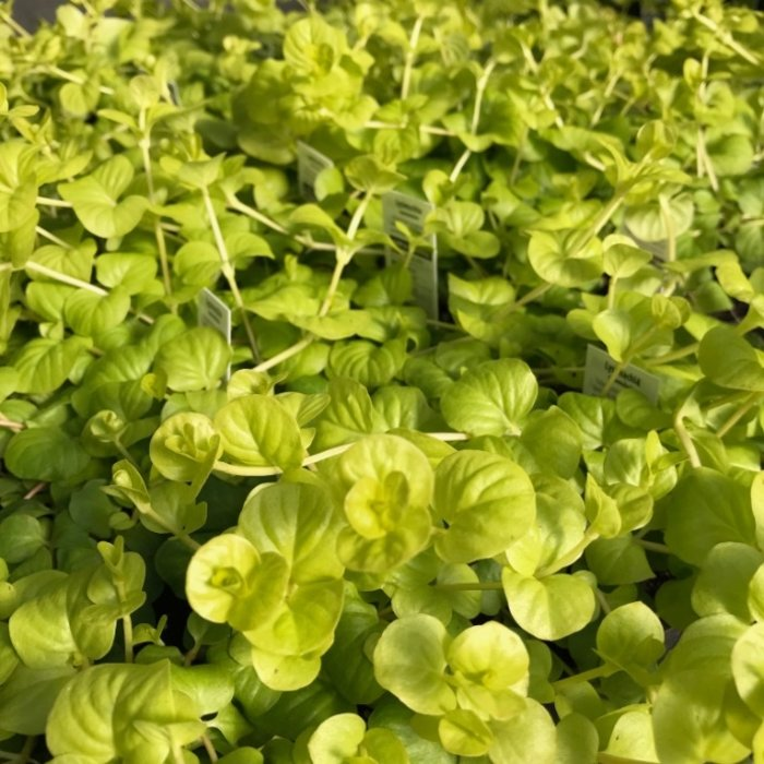Miscellaneous Groundcover